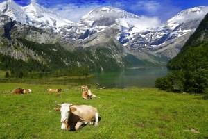 vacas suizas